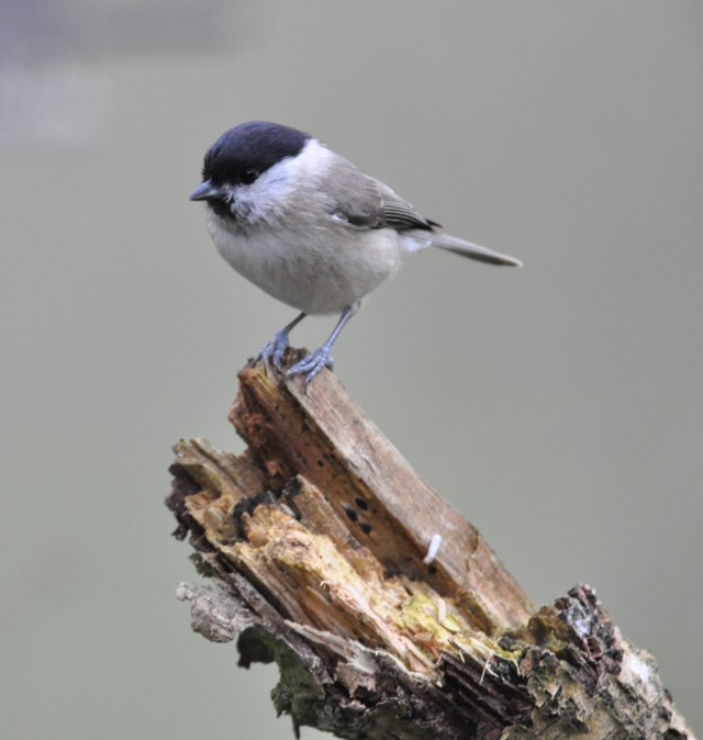 Marsh tit in woods